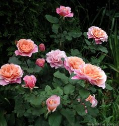 'Distant Drums '  shrub rose. This is first rose to bloom in my garden every year.