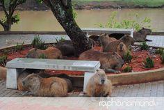 Rapha no Mundo - Capivaras na Represa Cavalinho Branco #aguasdelindoia #natureza #finaldesemana #ferias #lazer #descanso