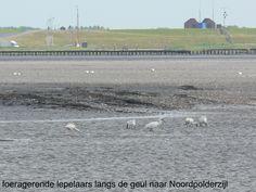 Lepelaars voor de kust bij Noordpolderzijl
