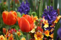 Tulpen, Blume,