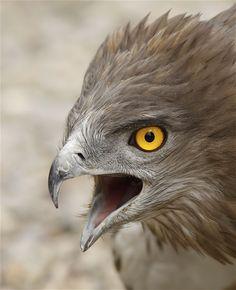 Circaetus gallicus/ Àliga Marcenca/ Águila culebrera/ Short-toed Snake Eagle al Cim d'Àligues. Sant Feliu de Codines (Barcelona). Spain