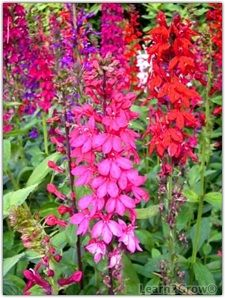 Summer Blooming Native Plants! Much info - this is Cardinal flower. Good gardening website