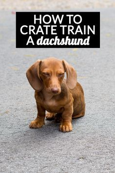 how to crate train a dachshund