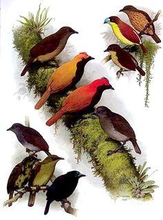 Satinbird family Cnemophilidae