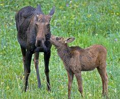 moose | Yellowstone Home :: Summer 2007 Photos
