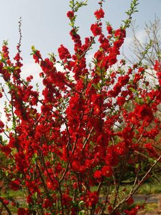 Double Take 'Scarlet Storm' Chaenomeles (quince)