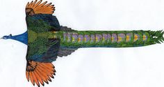 Pavo cristatus cristatus mut. nigripennis (Black-shouldered)