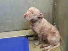 LANCASTER CA..L.A. COUNTY.....  Extremely urgent!     This girl is an owner surrender. She covered in bite wounds, abrasions and blood. Needs pledges, foster, rescue to save her life. Lancaster shelter, CA.     Impound No: A4536872   Impound Date: 1/25/2013   Sex: Female   Primary Breed: PIT BULL   Age: 4 Years, 0 Months   Location: Lancaster CA  Cage No.: L127