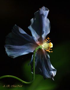 Van Dusen's Poppy 4 - Vancouver, British Columbia (Explored) by Barra1man, via Flickr
