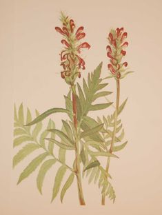 Vintage botanical print from 1925 by Mary Vaux Walcott titled Red Helmet . Walcott did the drawings for these prints whilst traveling across North America and they where subsequently produced in 1925 as prints by the Smithsonian in a work on North American Wildflowers. This is a 1925 print and not a later release, these where done in a limited quantity of 500. Vintage Botanical Prints, Wildflowers, Prints For Sale, North America, Initials, Helmet, Traveling, Mary, American