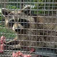 Rhode Island Raccoon Control and Humane Trapping