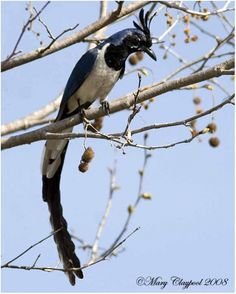Black-throated Magpie-Jay (Calocitta colliei), of northwestern Mexico.