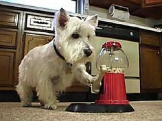 Hey Mister. Got any spare change to help a down and out Westie?