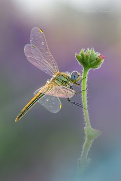 Sympetrum fonscolombii ♀ - null