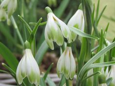 Резултат с изображение за galanthus nivalis blushing pendant