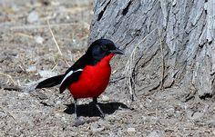 Crimson Breasted Shrike