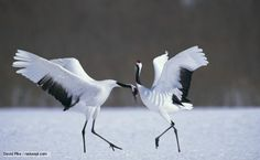 A pair of Japanese cranes during the courtship display
