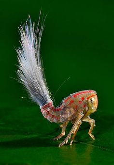 Meet the planthopper! It's one of 60+ new species found in the rainforest-dominated mountainous region of southeastern Suriname. Note the conspicuous waxy fronds at the end of its body. It's theorized that they might mimic the anthers of flowers to help the insect camouflage itself. http://news.discovery.com/animals/new-species-found-in-tropical-rainforest-pictures-131002.htm#mkcpgn=fbsci1