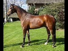 www.sporthorses-online.com 2009 Hanoverian gelding 16.3 hh for sale