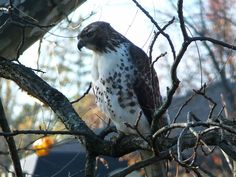 Juvenile Red-Tailed Hawk in the back yard - November 2012