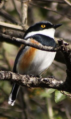 Cape Batis, Batis capensis: highlands of S and E South Africa/ Zimbabwe. Wattle-eye family