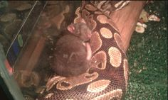 My Friend's snake has refused to eat this rat for 2 months http://ift.tt/2vXSOKA