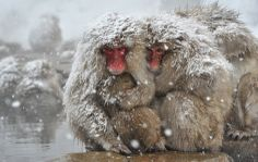 Japanese macaques, commonly referred to as snow monkeys, huddle together at an open-air hot spring at the Jigokudani (Hell's Valley) Monkey Park in the town of Yamanouchi, Nagano prefecture, Japan Picture: KAZUHIRO NOGI/AFP/Getty Images Monkeys In Hot Springs, Snow Monkey Park, Jigokudani Monkey Park, Japanese Monkey, Macaque Monkey, Japanese Macaque, Japan Picture, Pet Monkey, Snow