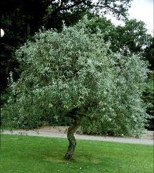Pilebladet pære / Pyrus salicifolia 'Pendula' / Alletræer