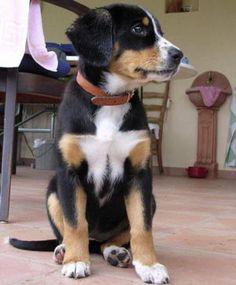 Entlebucher Mountain Dog puppy. Looks just like Dandi when i got her!