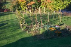 What every home needs - a backyard vineyard!
