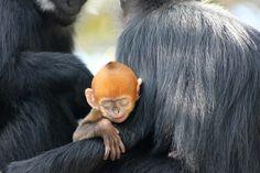 Austraalias Sydney's Taronga loomaaed tähistab Francois languri, üks maailma kõige haruldasemaid ahve