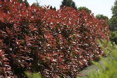 How to prune photinia