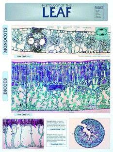 Leaf Histology