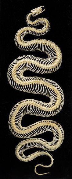 skeleton of a venomous snake head image animals