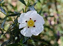 Cistus ladanifer: Z8-10, sun, 3x8' (without pruning), free-draining dry soil; bushy evergreen, 5cm flowers, Mediterranean plants, very fragrant resin from their stems used in the perfume industry smells like yummy crispy hot cross buns ... could it be used in zone 2-4 as a house plant in winter? (I've heard advice that zone 8+ plants could be used as house plants in our zones - but watch to keep the light  close to their natural conditions)