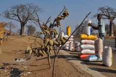 Baobab fruit - and sacks of baobab fruit pulp - for sale along the road from Tete to Manica, Mozambique