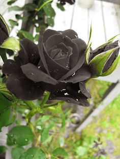 Not sure why, but I love black roses