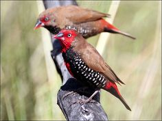 Painted Firetail Finches