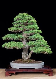 Bonsai by vilma