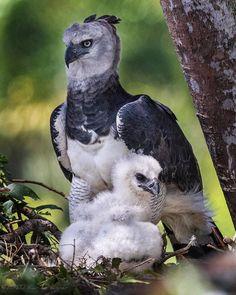 Harpy Eagle, Flora And Fauna, Birds Of Prey, Eagles, Owl, Shots, Congratulations, Instagram, Study