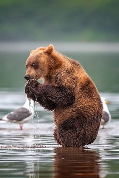 Gannet and Brown Bear by Sergey Ivanov / Nature Animals, Animals And Pets, Funny Animals, Cute Animals, Wild Animals, Baby Animals, Beautiful Creatures, Animals Beautiful, Animals Tattoo