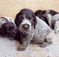Drahthaar (German Wirehair) Puppies!! If we get a girl to breed them, I'm going to suggest the name Montana :3