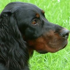 gordon setter puppy - Google Search