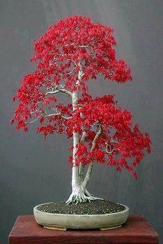 Red bonsai tree