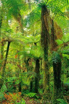 Tree ferns in forest, Cyathea smithii, Whirinaki Conservation Park, New Zealand