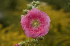 La rose trémière est une plante parfaitement comestible. Ses fleurs peuvent se consommer confites, en salades ou en tisane. En tant que plante médicinale, la rose trémière doit être utilisée en toute connaissance de cause. Bien que la rose trémière soit non-toxique, un dosage de 3 tasses de tisane par jour suffit pour bénéficier des vertus de cette plante.