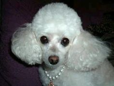 Miniature poodle ~ looks like our new rescue, Princess!