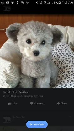 Silver toy poodle groomed in teddy bear cut