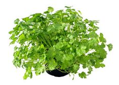 Cilantro  Coriander    An annual or biennial herb (Coriandrun sativum), of the Parsley Family, grown for it's aromatic seeds which are used for flavoring liquors and confections. The plants, which grow about 2 feet high, are cultivated in rows about 18 inches apart, generally from seed sown in early spring. The seed heads which ripen about midsummer are gathered and dried, then beaten with light rods or flails to spearate the seeds.