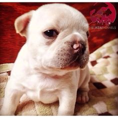 Cute Baby Frenchie